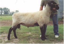 Click here for Pedigree - OSSRA 3rd Reference Sire