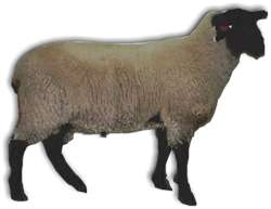 Click here for Pedigree - OSSRA 2nd Reference Sire